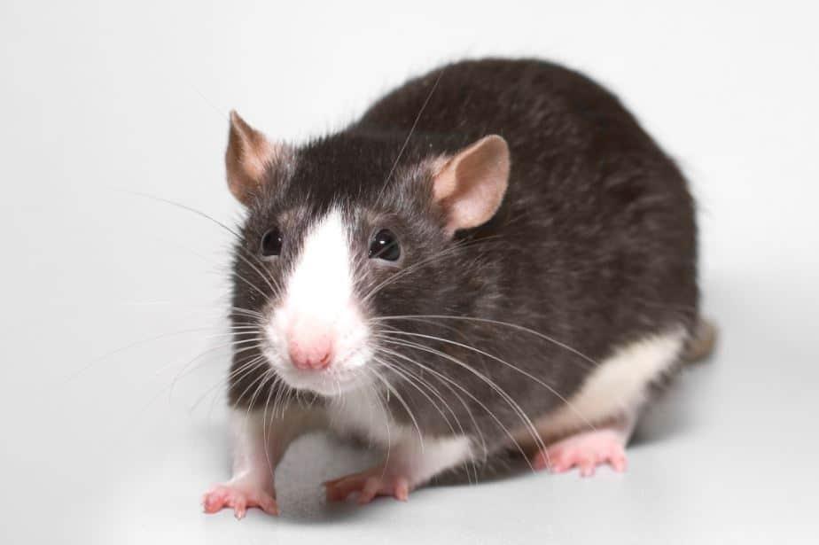 l 39 astuce pour loigner les rats et souris de chez vous. Black Bedroom Furniture Sets. Home Design Ideas