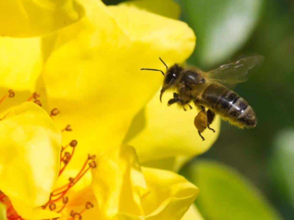 Comment Éloigner Les Mouches À L Extérieur 3 remèdes naturels pour éloigner les abeilles