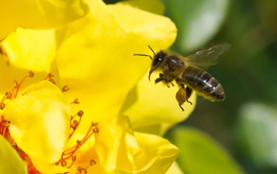 article abeilles