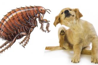 Remede Contre Les Puces : rem de naturel pour d barrasser son chien des puces ~ Nature-et-papiers.com Idées de Décoration