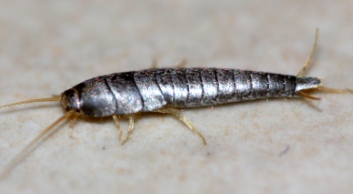 comment lutter contre les poissons d argent ces petits insectes qui font des d 233 g 226 ts astuces