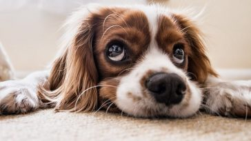 chien triste malade fatiguée