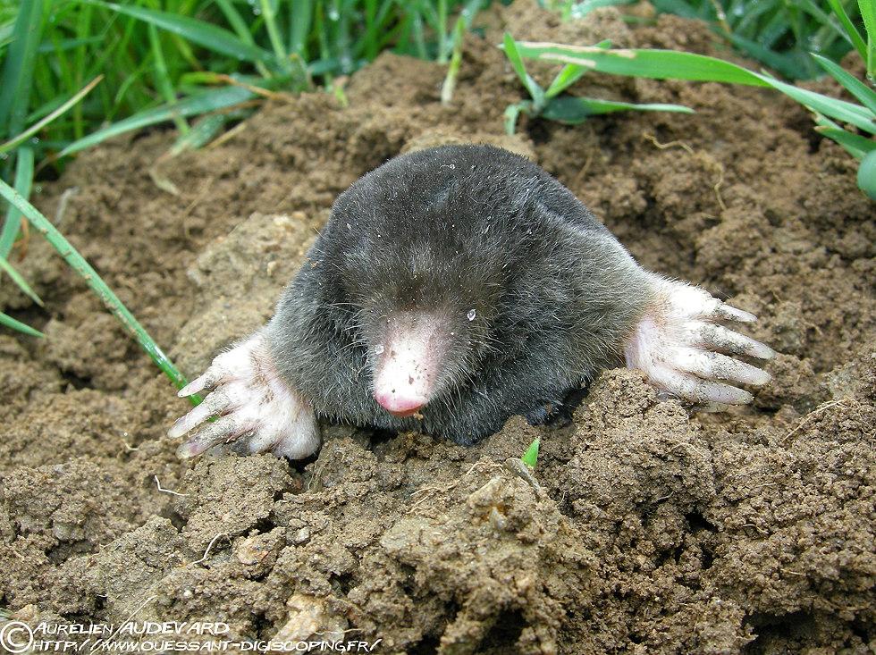 Comment enlever les mauvaises odeur sur un tapis astuces de grand m re - Comment chasser les taupes du jardin ...