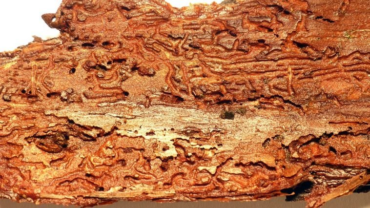 Comment lutter contre les vers bois astuces de grand for Vers de bois traitement