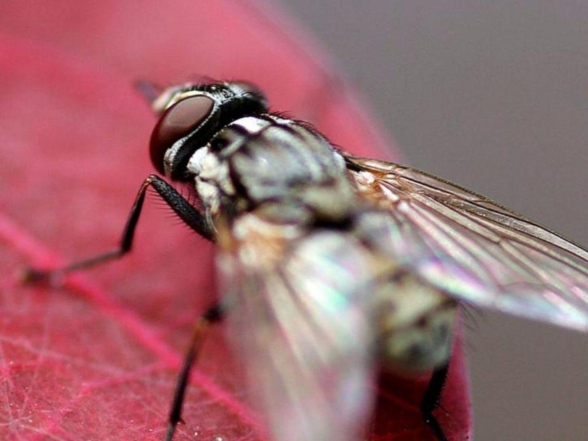 Comment Se Débarrasser Des Petite Mouche 10 répulsifs à mouches que vous voudrez dans votre maison