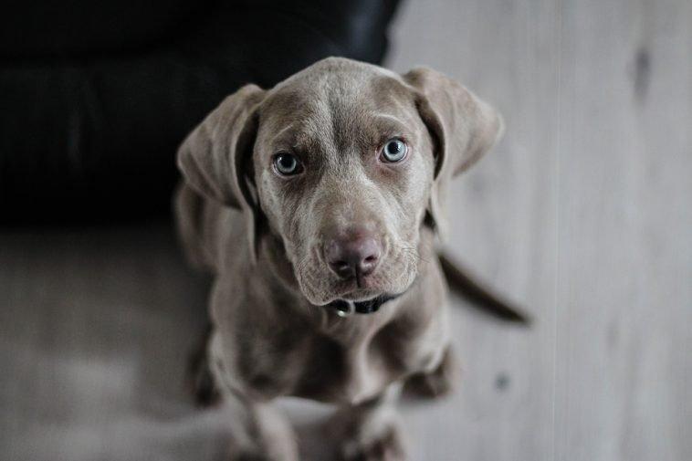 puce pour chien