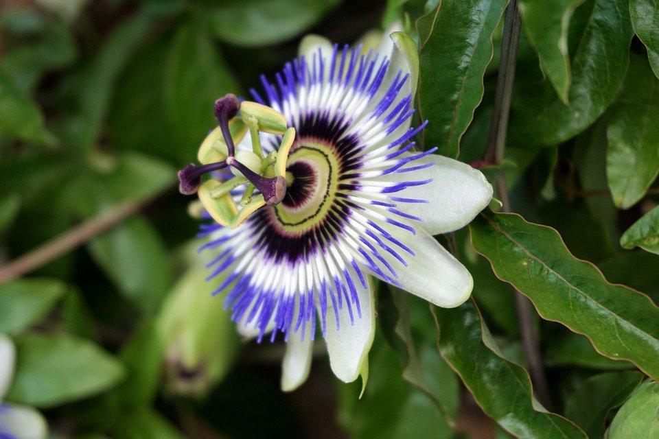 passiflore plante plantes sommeil déprime
