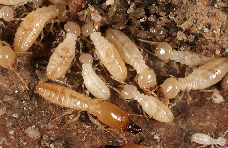 Subterranean_Termite
