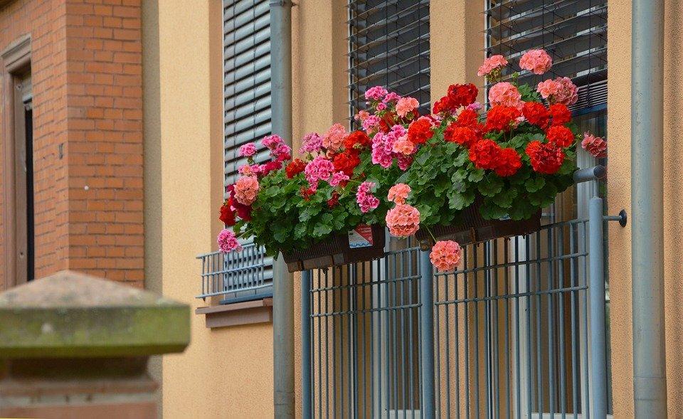 géranium fenêtre balcon