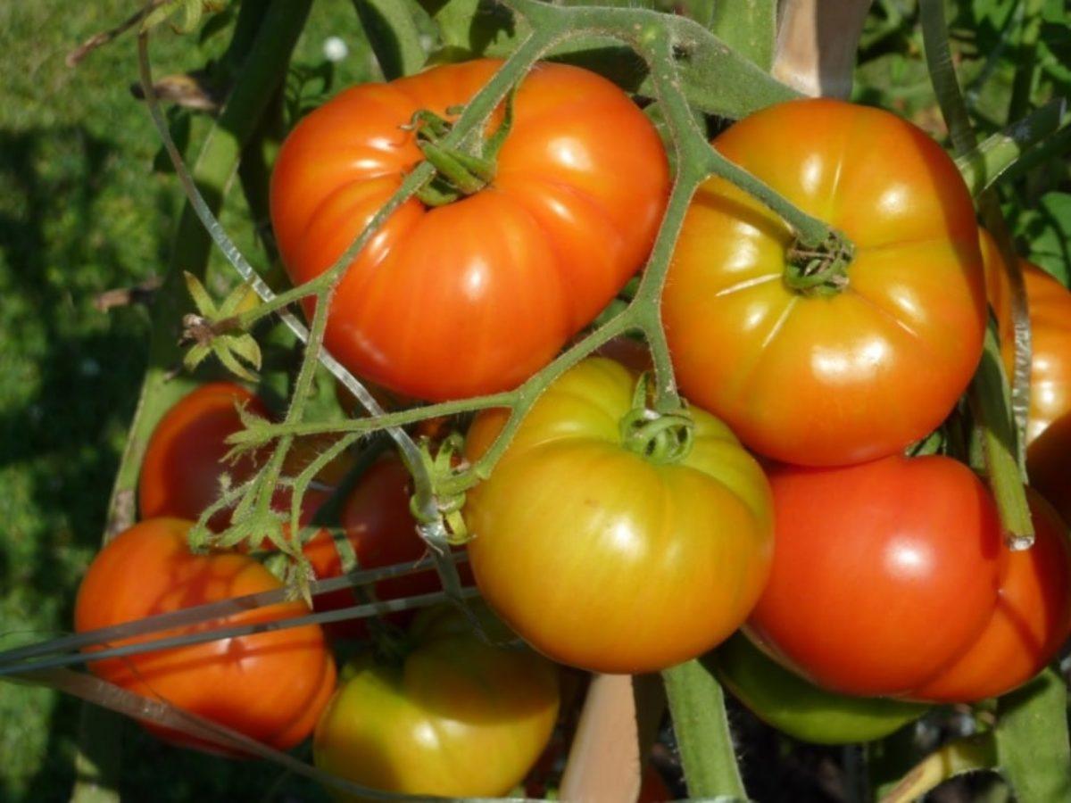 Faire Pousser Tomates En Pot 13 astuces pour bien faire pousser les tomates