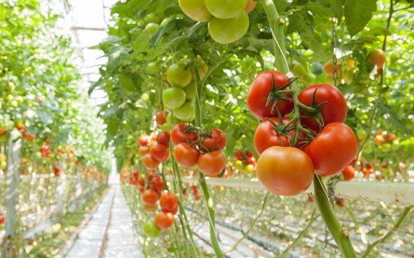 13 astuces pour bien faire pousser les tomates page 2. Black Bedroom Furniture Sets. Home Design Ideas