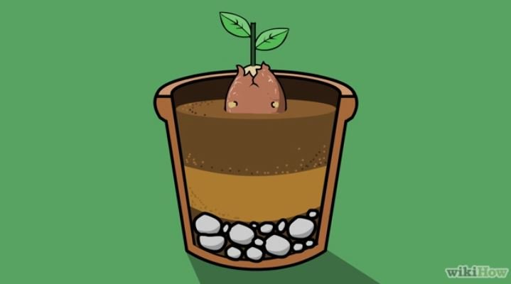 noyau avocat plante