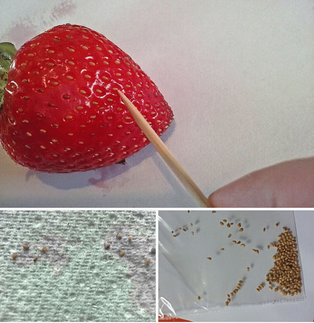 envie de faire pousser des fraises dans votre jardin voici une technique simple astuces de. Black Bedroom Furniture Sets. Home Design Ideas