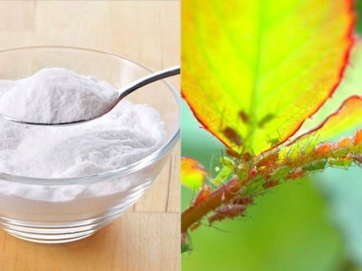Bicarbonate De Soude Contre Les Pucerons bicarbonate et jardin ne sont pas incompatibles la preuve