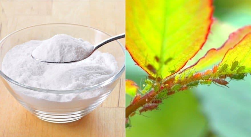 Comme le prouvent ces astuces bicarbonate et jardin ne - Bicarbonate de soude utilisation au jardin ...