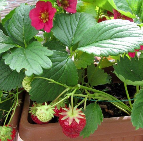 fraises fruits jardinière balcon