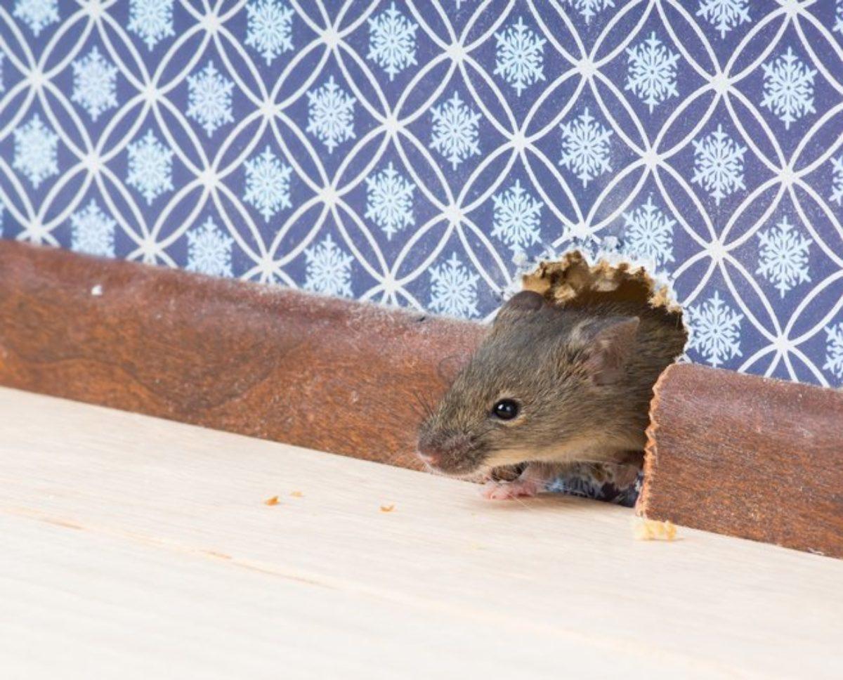 Souris Dans Les Murs Comment Faire 7 astuces naturelles pour vous débarrasser rapidement des souris