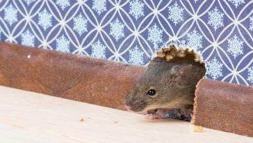 souris rongeur trou dans le mur