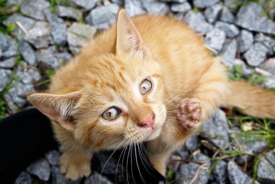 chat mignon gratte puces tiques