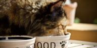 gros chat gamelle mange alimentation