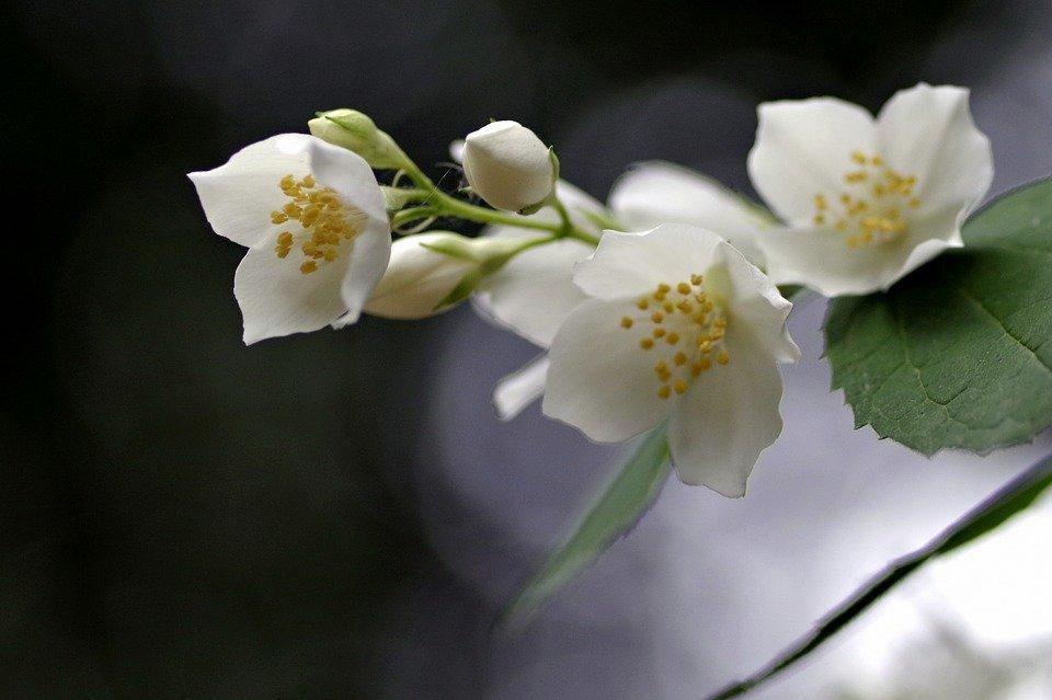 fleurs jasmin