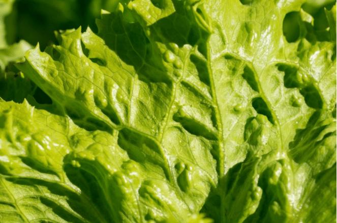 feuille de salade laitue