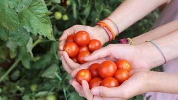 balcon tomates plantes
