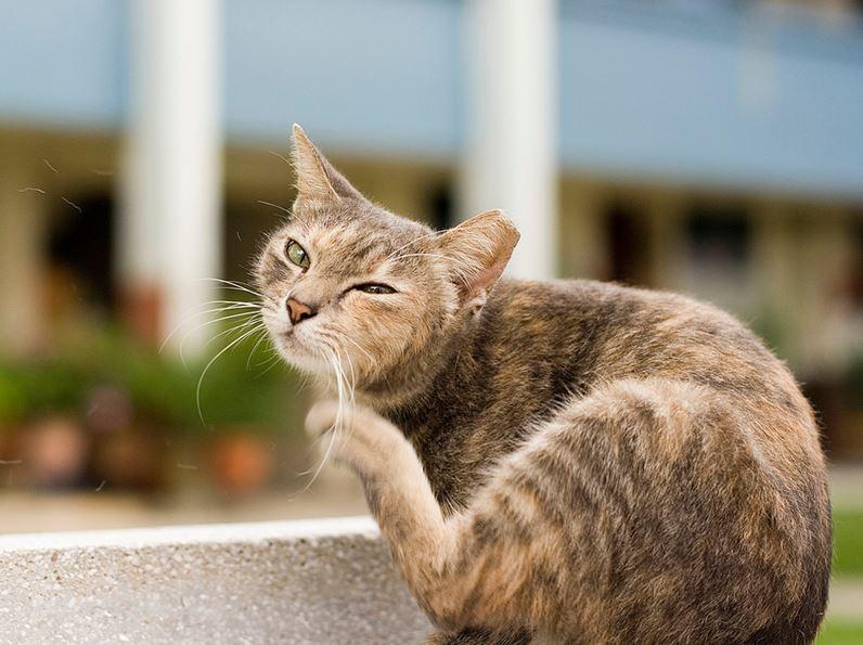 chat gratte gratter puces tiques répulsif remèdes naturels