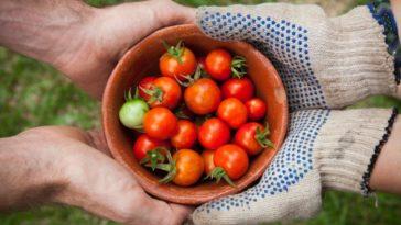 récolte plants tomates