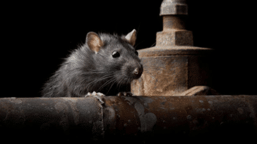 rats rongeurs invasion chasser tuer