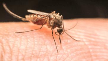 moustique piqûre