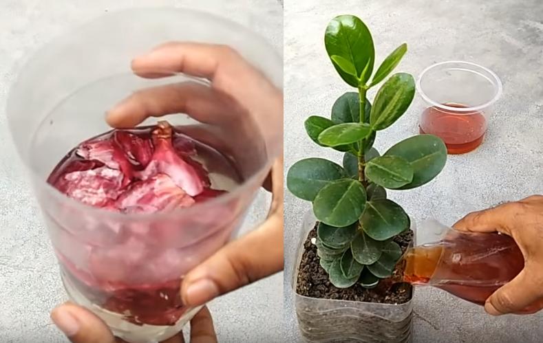 peau d'oignon pour fertiliser plantes