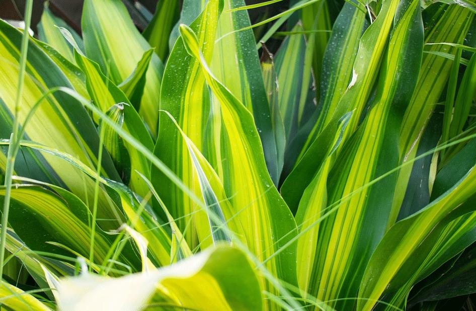 dracaena - plantes faciles à entretenir