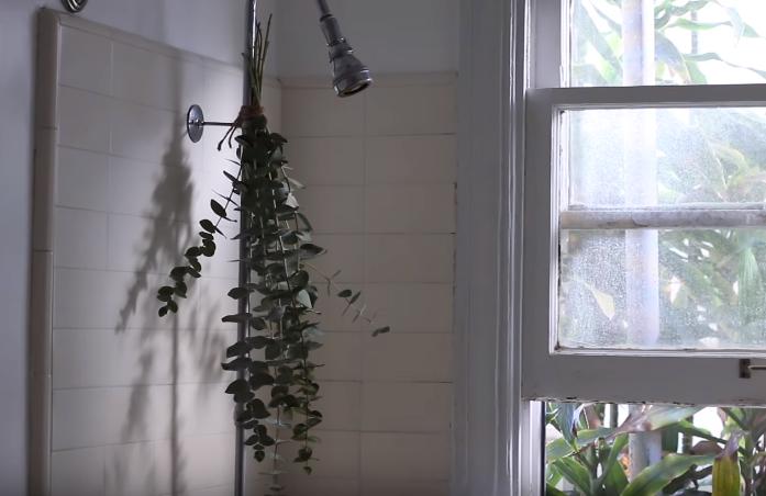 eucalyptus douche