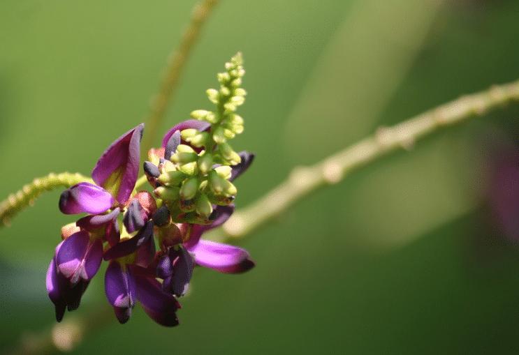 fleur de kuzu kudzu excellent contre le tabac tabagisme cigarette