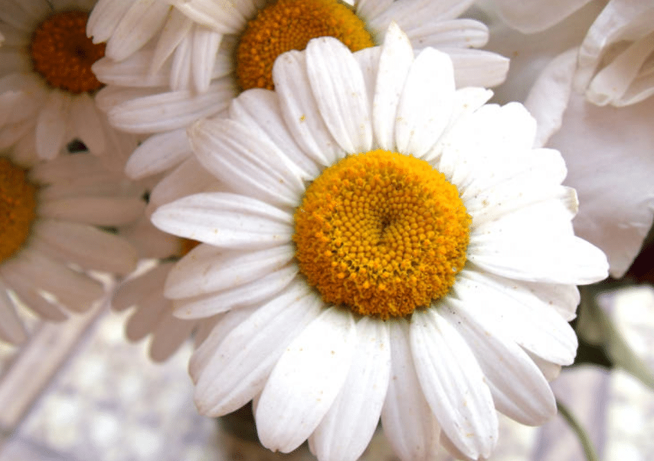 grande camomille fleur des migraineux maux de tête