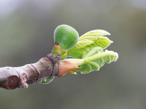 macérât extrait de bourgeons de figuier contre les reflux gastriques