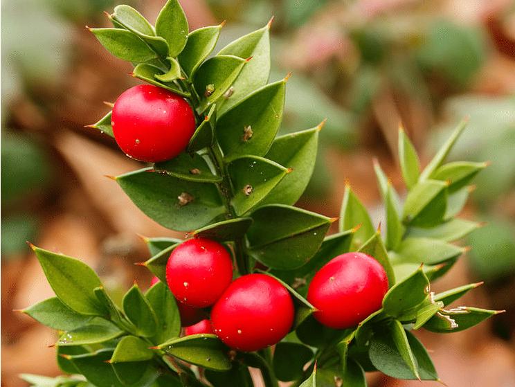petit houx ou fragon épineux en traitement des hémorroïdes