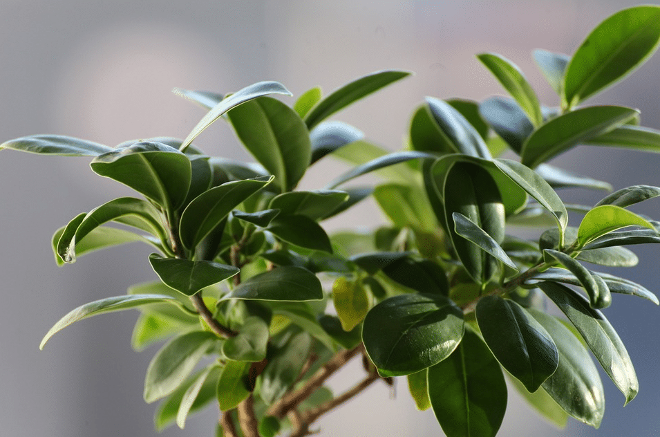 plantes faciles à entretenir - ficus