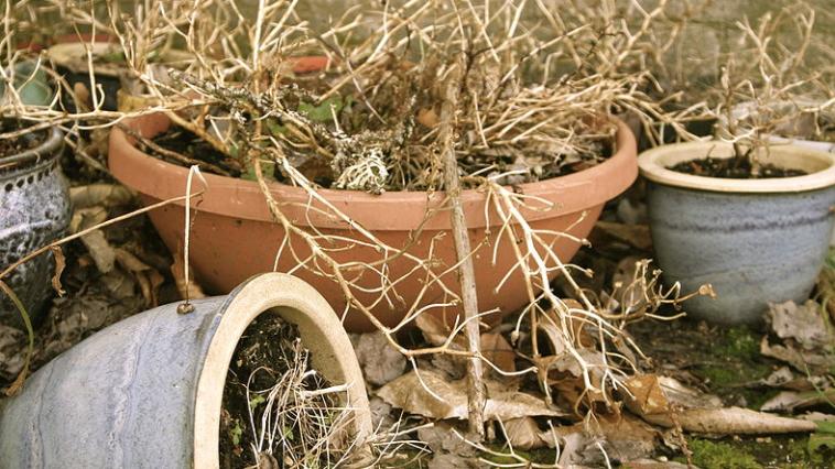 plantes fanées mortes
