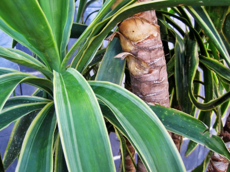yucca - plantes faciles à entretenir