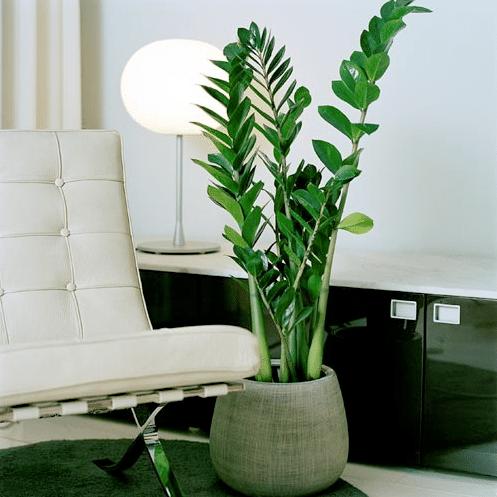 zamioculcas - plantes faciles à entretenir