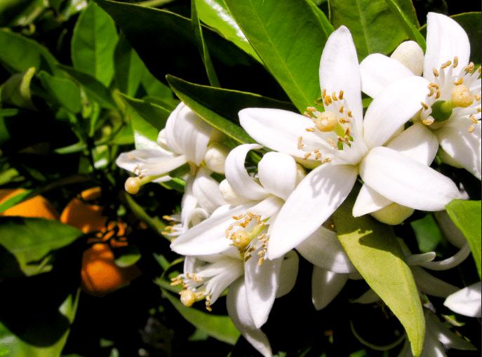 néroli fleurs d'oranger
