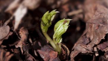 plante pousse semis