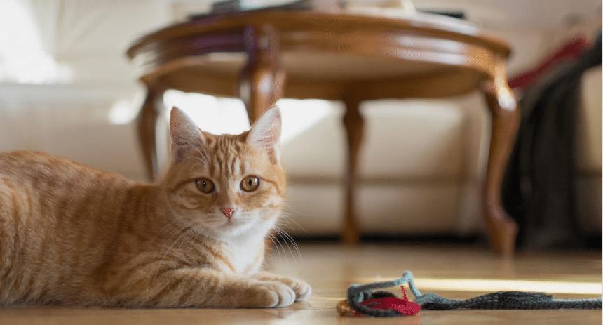 chat appartement jouet joue jeu