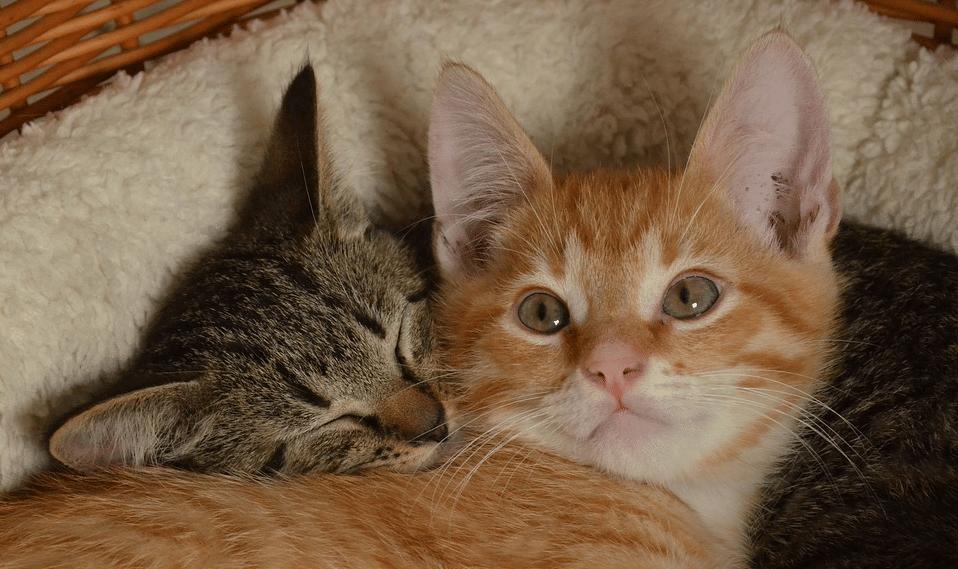 faut-il prendre un deuxieme chat pour tenir compagnie à son chat d'appartement