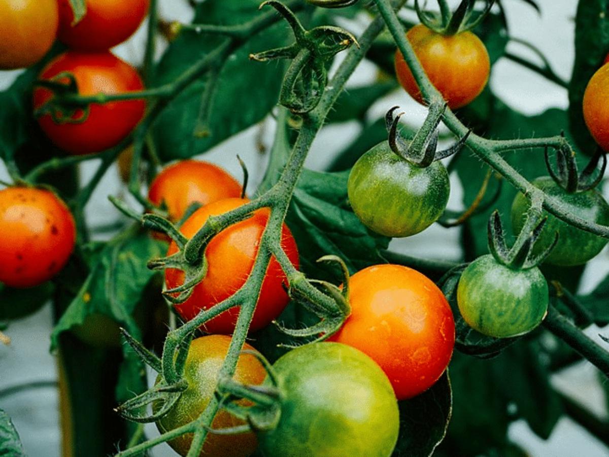 Faire Pousser Tomates En Pot tomates : 7 engrais naturels à enfouir dans le sol pour réussir ses plants
