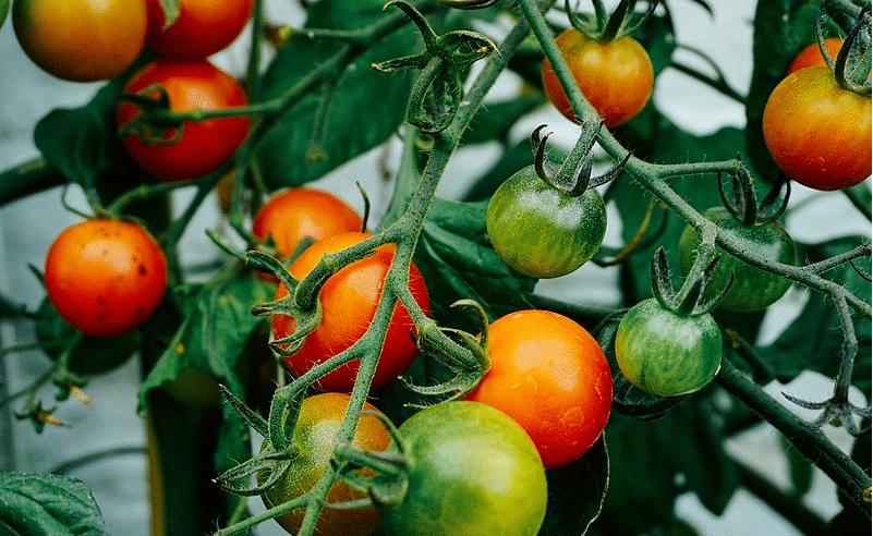 plants de tomates croissance