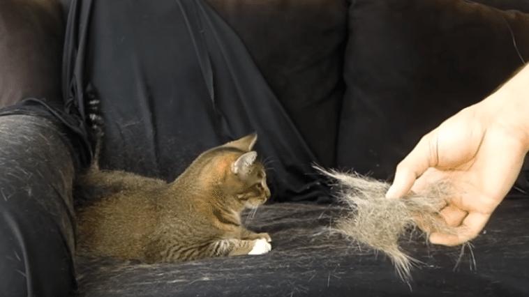 poils de chat sur le canapé