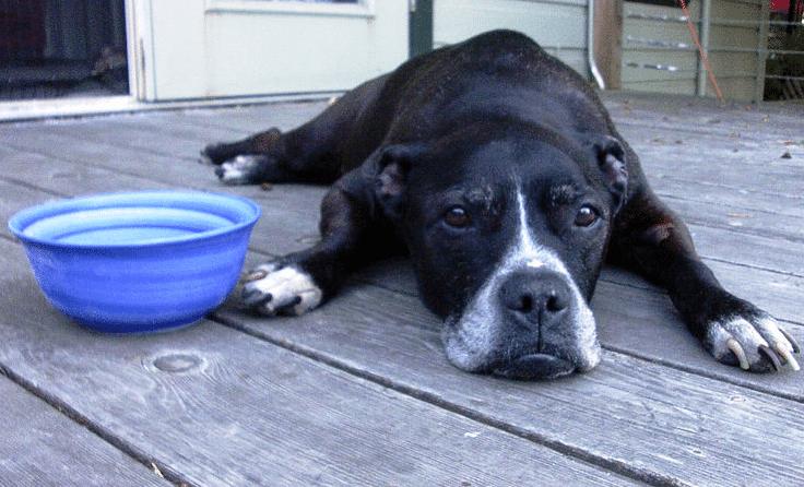 chien gamelle